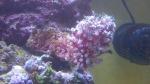 Pachyclavularia violacea - Röhrenkoralle
